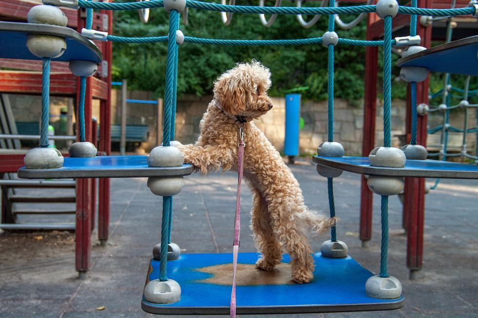Poodle playing